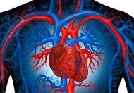 Сърце и кръвоносни съдове