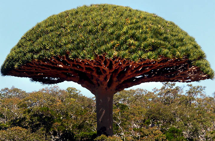 dragons-blood-tree